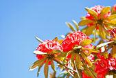 Rododendro fucsia — Foto de Stock