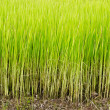 Rice sprout in the rice field — Stock Photo