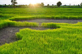 Rice sprout in the rice field — Photo