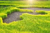 Ris spira i fältet ris — Stockfoto