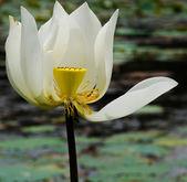 White lotus flower nature blossom — Stockfoto