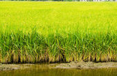 Rice plant in rice field — Stock Photo