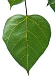 Bodhi or Peepal Leaf from the Bodhi tree — Stock Photo
