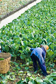 Vegetais de couve chinesa — Fotografia Stock