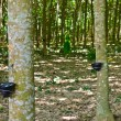 Tapping latex from rubber tree — Stockfoto #35294883