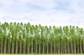 Eucalyptus forest in Thailand — Stock Photo