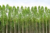 Eukalyptový les v thajsku — Stock fotografie