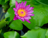 Lotus flower blossom — Stock Photo