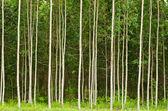 Eucalyptus forest in Thailand — Stock Photo