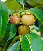 Mangosteen on tree — Stock Photo