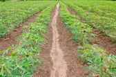 Campo di pianta di cassava o manioca — Foto Stock