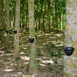 Foto de Stock  : Tapping latex from rubber tree