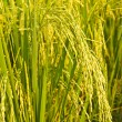 Rice plant — Stock Photo #35327091