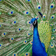 Peacock raise his feathers — Stock Photo #35339501