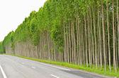 Eukalyptus-wald in thailand — Stockfoto
