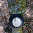 Stockfoto: Tapping latex from rubber tree