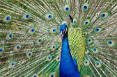 Peacock raise his feathers — Stock Photo