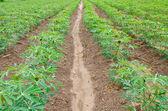 Cassava or manioc plant field — Stock Photo