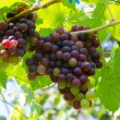 Grape on tree — Stock Photo