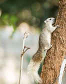 Squirrel or small gong, Small mammals on tree — Foto de Stock