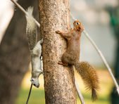 Squirrel or small gong, Small mammals on tree — Zdjęcie stockowe