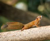 Squirrel or small gong, Small mammals on tree — Stock Photo