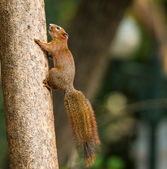 Squirrel or small gong, Small mammals on tree — Foto Stock