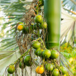 Closeup ripe areca nut or Areca catechu, raw betel nut — Stock Photo