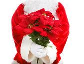 Santa Claus Holding Poinsettias — Stok fotoğraf