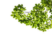 Isolated green leaf on white background with clipping path — Stock Photo