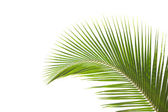 Isolated Leaves of palm tree — Stock Photo
