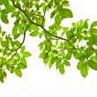 Green leave on white background — Stock Photo
