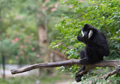 White Cheek Gibbon — Stock Photo