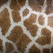 Genuine leather skin of giraffe — Stock Photo