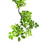 Deixe verde sobre fundo branco — Foto Stock
