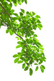 Green leave on white background — Foto de Stock