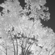 Infrared tree — Stock Photo #22857076