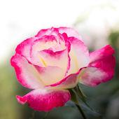 粉红色的玫瑰 — 图库照片