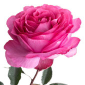 Isolated Pink rose with white background — Stock Photo