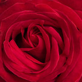 Beautiful red rose background using for valentine day — Stock Photo