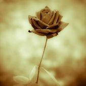 Schwarze rose — Stockfoto
