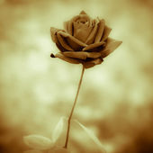 Black rose — Stock Photo