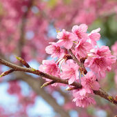 Pink cherry blossom sakura — Stock Photo