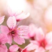 Pink cherry blossom sakura — Stock Photo