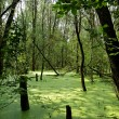 Swamp in the green forest — Stock Photo