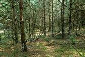 Misty pine tree forest — Stock Photo