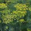 Fennel flower on green background. Flower of dill. — Foto Stock #12613709