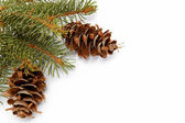 Spruce branches with pine cones isolated on white — Stock Photo