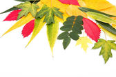 Autumn leaves isolated on white background. — Stock Photo