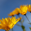 Yellow topinambur flowers (daisy family) against blue sky — Stock Photo #14566959
